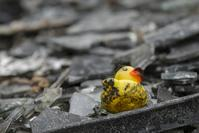 Singed yellow duck toy amongst rubble